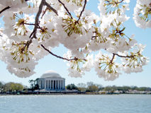 Washington cherry blossom on background of Jefferson Memorial Ma Royalty Free Stock Images