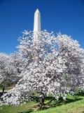Washington cherry blossom tree near Monument 2010 Stock Photos
