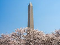 Washington Cherry Blossoms royalty-vrije stock fotografie