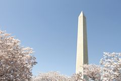 Washington Cherry Blossoms Royalty Free Stock Photography