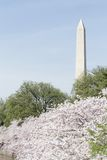 Washington Cherry Blossoms Royalty Free Stock Photos