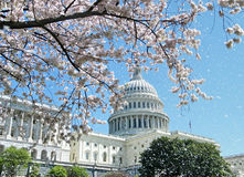 Washington Cherry Blossoms and Capitol April 2010 Royalty Free Stock Photography