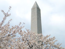 Washington Cherry Blossoms en Washington Monument 2011 Stock Afbeeldingen