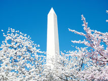 Washington Cherry Blossoms and Monument March 2010 Stock Photography