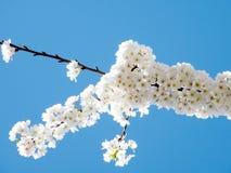 Washington Cherry Blossoms op blauw Maart 2010 Stock Afbeeldingen