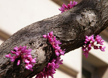 Washington Chinese Redbud Tree 2010 Royalty Free Stock Image