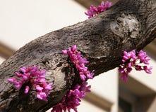 Washington Chinese Redbud Tree 2010 Royalty Free Stock Image