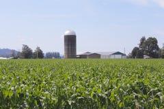 Washington Corn Field Stock Images
