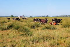 Washington Dairy Herd Royalty Free Stock Photo