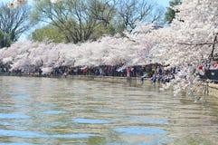 Washington DC, Κολούμπια, ΗΠΑ - 11 Απριλίου 2015: Μέγιστα άνθη κερασιών στην ανατολή στην παλιρροιακή λεκάνη του Washington DC στοκ εικόνα με δικαίωμα ελεύθερης χρήσης