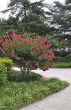 Washington DC, 5 Augustus: National Gallery van Art Sculpture Garden Roses-struik van Washington District van Colombia Royalty-vrije Stock Afbeeldingen