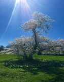 Cherry Trees Basking in the Sun Rays stock image