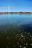 Washington DC cherry blossom Royalty Free Stock Photos