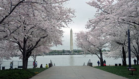 Washington DC Cherry Blossom Festival. Cherry blossoms surround the Washington Monument during the Cherry Blossom Festival in Washington, D.C Royalty Free Stock Photography