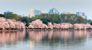 Washington DC Cherry Blossom Festival Royalty Free Stock Photo