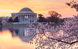 Washington DC Cherry Blossom Festival Sunrise Arkivbild