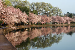 Washington DC Cherry Blossoms Centennial Festival Stock Photos