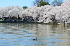 Washington DC, Colombia, de V.S. - 11 April, 2015: Cherry Blossoms op het Getijbekken - Nationaal Cherry Blossom Festival Stock Afbeeldingen