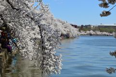 Washington DC, Colombia, de V.S. - 11 April, 2015: de kers komt Festival & Getijbekken tot bloei Royalty-vrije Stock Foto
