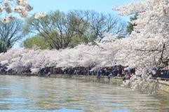 Washington DC, Colombia, de V.S. - 11 April, 2015: De kers komt rond het Getijbekken tot bloei Royalty-vrije Stock Foto's