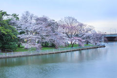 Washington DC Haines Point Cherry Blossoms Trees Royalty Free Stock Photo