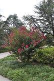 Washington DC, il 5 agosto: National Gallery di Art Sculpture Garden Roses cespuglio da Washington District di Colombia immagine stock