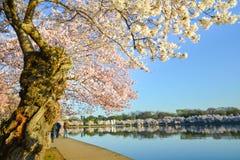 Washington DC - Jefferson-Denkmal im Frühjahr Stockbilder