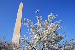 Washington DC Monument Cherry Blossom Stock Photos