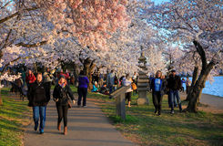 Washington DC National Cherry Blossom Festival Royalty Free Stock Photography