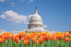 Washington DC, orange tulips in front of Capitol Building. United States Stock Photo