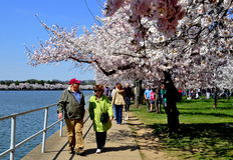 Washington, DC: People and Tidal Basin Cherry Trees Stock Photo