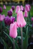 Washington DC rosado de los tulipanes Imagen de archivo libre de regalías
