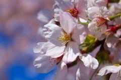 Washington DC`s Cherry Blossoms stock images