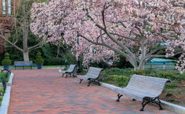 Washington DC Sidewalk Spring Bloom Royalty Free Stock Photography