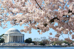 Washington DC, Thomas Jefferson Memorial during Cherry Blossom F Royalty Free Stock Photos