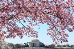 Washington DC Thomas Jefferson Memorial under Cherry Blossom F royaltyfri fotografi