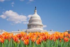 Washington DC, tulipanes anaranjados delante del edificio del capitolio Foto de archivo