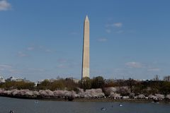 Washing Momument in Early Spring. Washington, DC, USA - April 8, 2018: The annual spring Cherry Blossoms bloom near the Washington Monument Royalty Free Stock Photography