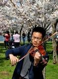 Washington, gelijkstroom: Violist met Cherry Blossoms stock afbeeldingen