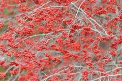 Washington Hawthorn Fruits royalty-vrije stock fotografie