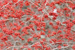 Washington Hawthorn Fruits stock foto's