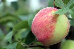 Washington Liberty Apple Stock Images