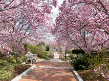 Washington Magnolia Blossom dichtbij Smithsonian 2011 Stock Fotografie