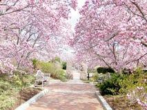Washington Magnolia Blossom vicino a Smithsonian 2011 Immagini Stock