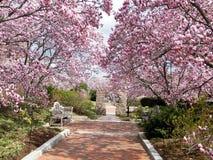 Washington Magnolia Blossom vicino a Smithsonian 2011 Fotografia Stock