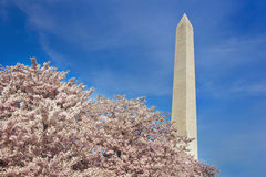 Washington Monument. In Washington D.C. during the National Cherry Blossom festival. Lots of copy space stock images