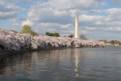 Washington Monument. The famous Washington Monument during peak blomming of the Tidal Basin's Cherry Bolssom trees Stock Images