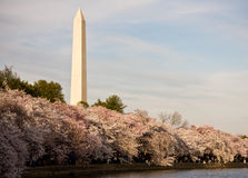 Washington Monument with cherry blossom. Washington Monument with a layer of cherry blossom flowers at the base and reflection in Tidal Basin royalty free stock photos