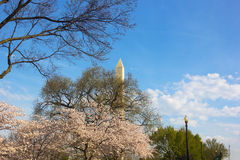 Washington Monument during cherry blossom. Washington Monument surrounded by cherry trees in full blossom Stock Photos