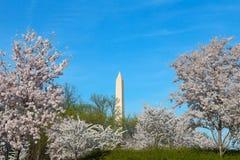 Washington Monument during cherry blossom in Washington DC. Stock Photography